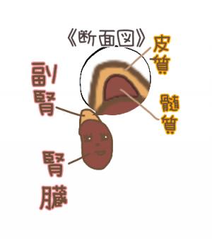 腎臓と副腎の画像